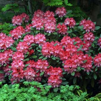 Rhododendron - Rhododendron Yakusimanum Hybr. - rot