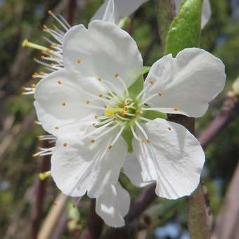 Pflaume - Prunus domestica 'The Czar'