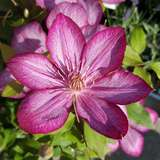 Waldrebe - Clematis 'Liberty'