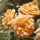 Zwergrose - Rose 'Apricot Clementine'