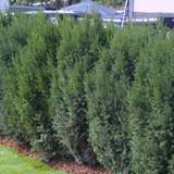 Säuleneibe - Taxus media 'Strait Hedge'