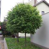 Kugel-Winterlinde - Tilia cordata 'Green Globe'