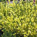 Ginster - Cytisus praecox 'Allgold'
