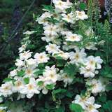Waldrebe - Clematis 'Madame Le Coultre'