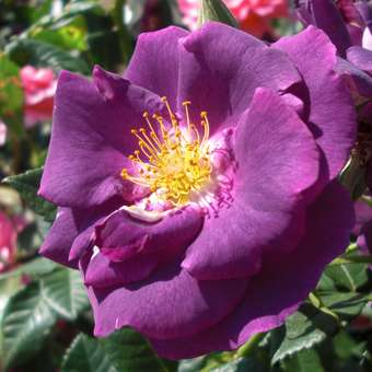 Moderne Strauchrose - Rose 'Rhapsody in Blue'