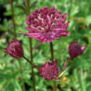 Sterndolde - Astrantia major 'Ruby Wedding'
